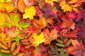 Colorful autumn leaves background. Bright orange tones colors.