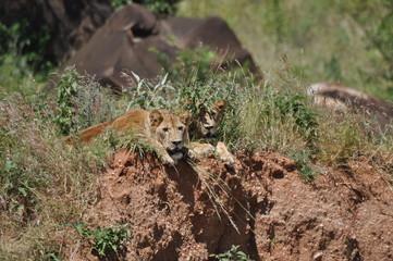 Lions in Tarangire National Park