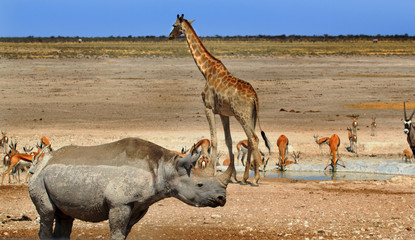 Vibrant waterhole with giraffe, Black Rhino and springbok in Etosha, Namibia