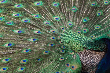 Close-up of a colorful Peacock (Indian peafowl or blue peafowl (Pavo cristatus)) displaying.