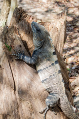 Black Iguana at the Mayan archeological site Chichen Itza, Mexico