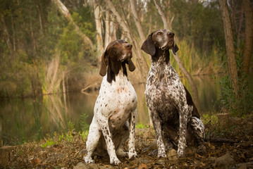 Two German Shorthair Pointer dogs outdoors sitting by pond in forest