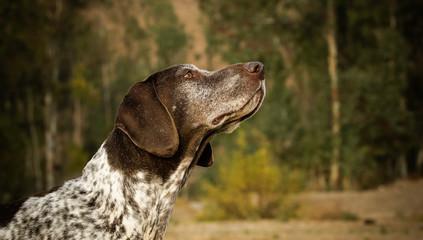 German Shorthair Pointer dog outdoor portrait headshot in forest