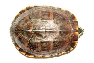 Freshwater turtles walking.