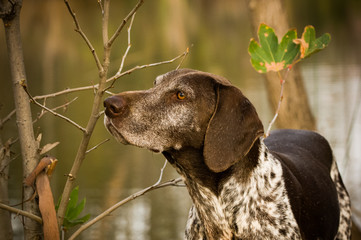 German Shorthair Pointer dog outdoors by pond and trees