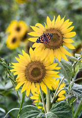 Painted Lady and Sunflower