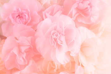 Fototapeta Pink Carnation Flowers Bouquet. soft filter.
