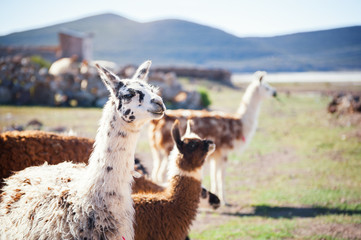 Llama in the Andes, Bolivia.