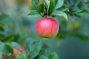 red apple hanging from a tree