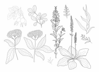 Vector flowers and herbs on a white background