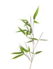 Green bamboo branch with leaves  isolated on white background