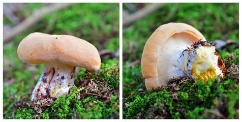 hydnum repandum mushroom