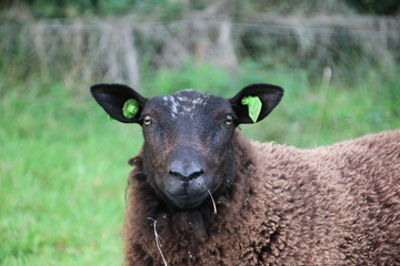 Black sheep looking into camera