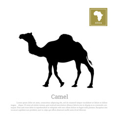Detailed black silhouette of camel on white background. African animals. Vector illustration