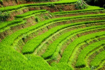 close up on bright green rice field, Sa Pa, Vietnam