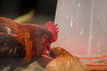 петух и курица клюют зерно в курятнике