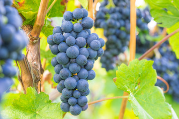 Weintrauben am Rebstock