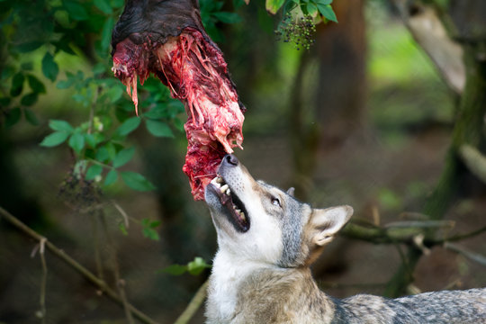 Wolf eating raw meat at feeding time