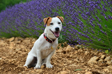 white jack russell in lavender field