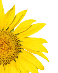 Isolated Bright Yellow Summer Sunflower on White
