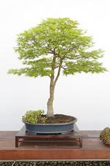 Acer palmatum sango kaku bonsai on a wooden table and white background