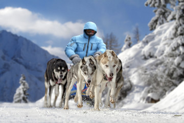 musher sled dogs running