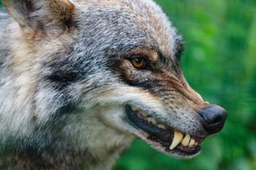 Close up portrait of aggressive angry wolf