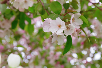 Tender flowers of apple. Natural floral background. Unblown white buds of apple blossoms. Soft blurred background with bokeh. Copy space. Greeting card.