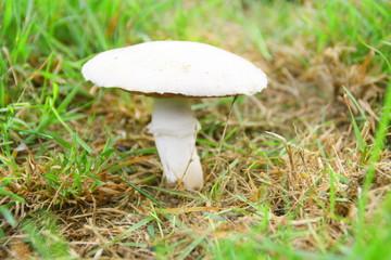 champignon de paris,rosé des champs en automne
