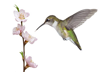 Hummingbird and a Fruit Blossom