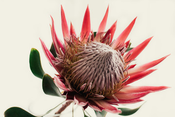 Pink King Protea on Cream Background