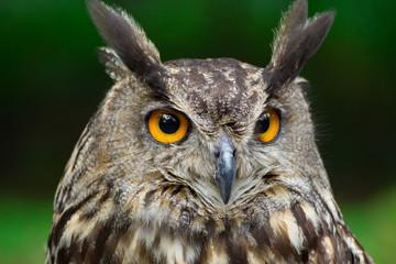 Fototapete - Portrait eagle-owl, bubo bubo