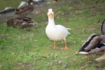 Weiße Ente zwischen Stockenten