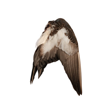 Real wild duck bird wing angel brown white background