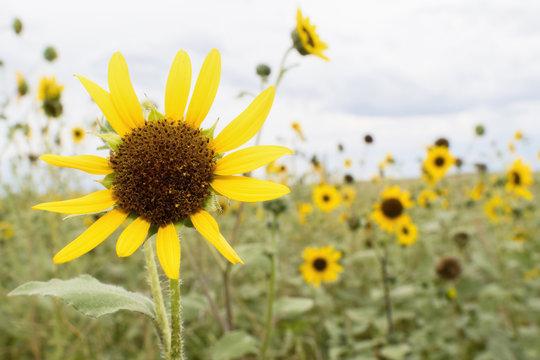Wild Sunflowers in Colorado