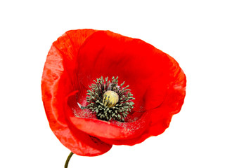 Foto op Canvas Poppy Red wild flower of Papaver rhoeas close up (corn poppy, corn rose, field poppy), isolated on white background