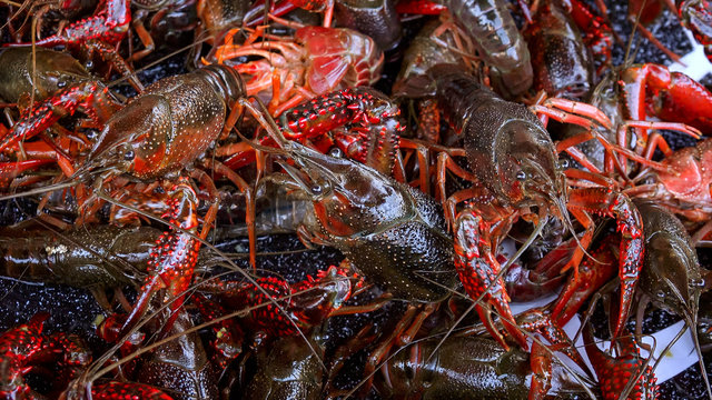 Fresh Live Crawfish For Sale in New Orleans - Closeup