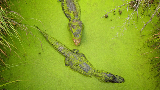Two Alligators Swimming in Green Mississippi Swamp
