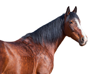 Wall Mural - Portrait of a horse on a white background.