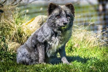 Wolf Cub Sitting on Grass