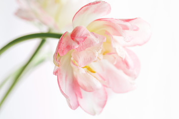 Beautiful tulip on a white background