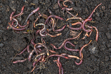 Search photos earthworm for Red worms for fishing