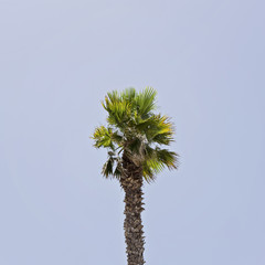 The one palm on the blue sky background, square
