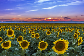 Sunset Over Sunflower Fields of Colorado Wall mural