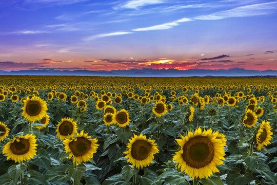 Sunset Over Sunflower Fields of Colorado