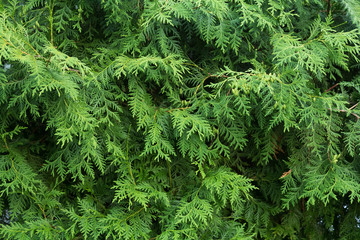 Background of twigs of thuja. Evergreen for landscape design