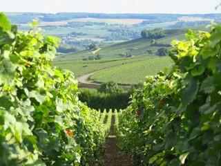 Paysage de vignes en été en Champagne (France)