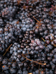 Freshly harvested wine grapes