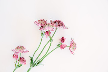 Astrantia Major flowers on a white background with copy space.