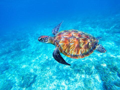 Green sea turtle in shallow seawater. Big green sea turtle closeup. Marine species in wild nature.